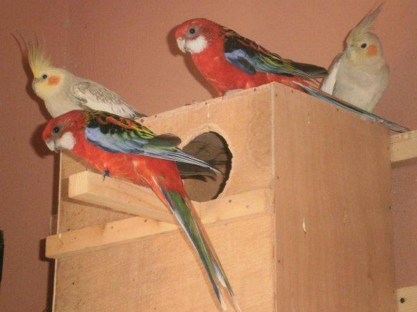 Mon nouveau couple d'omnicolores + 2 femelles calopsittes(opline cinano à gauche et opline à droite)
