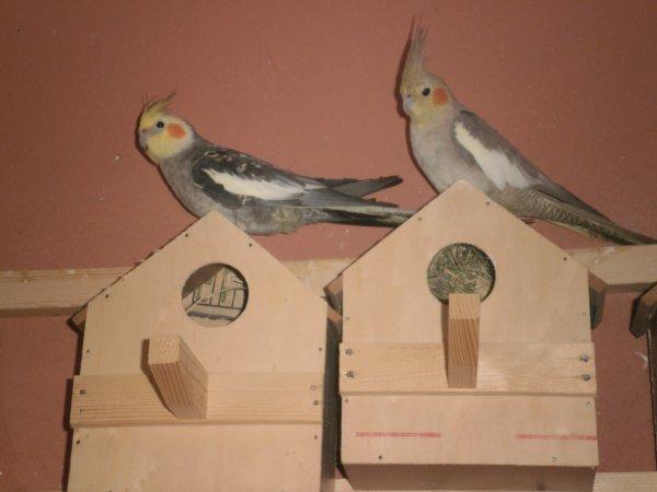 Un couple calopsittes (male perlé à gauche et femelle opaline à droite)