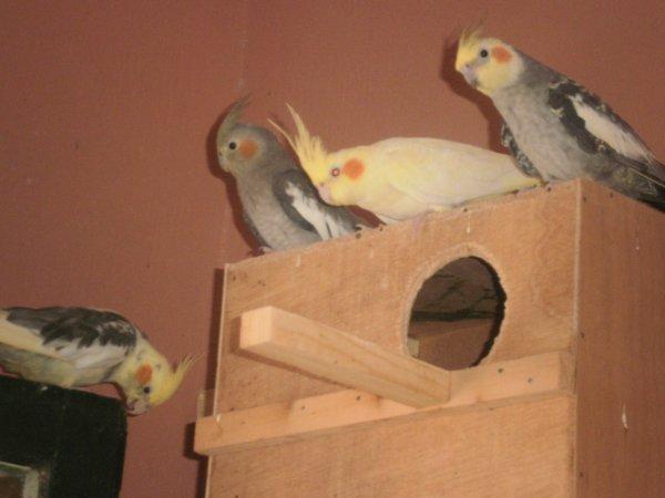 La famille calopsittes(de gauche à droite:1male panaché,1femelle grise,1femelle lutino et 1male perlé)
