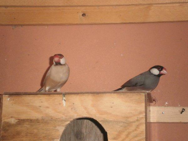 le couple de paddas : le male à gauche ,la femelle à droite