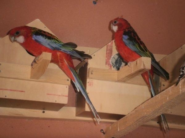 le male omniclolore à droite , la femelle à gauche