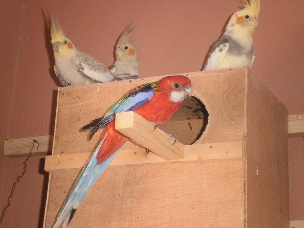 L'elevage dans les volières :la femelle d'omnicolore + Un couple calopsittes en avant plan.1changement dans l'elevage des   oiseaux,se consacrer aux becs crochus(calopsittes,perruches ondulées ,omnicolores)