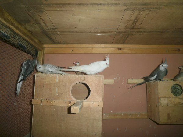 2 màles à l'extrémité(perlé+sauvage) + 2 femelles au milieu(opaline cinamo et albinos):mutation, sans tache faciale.