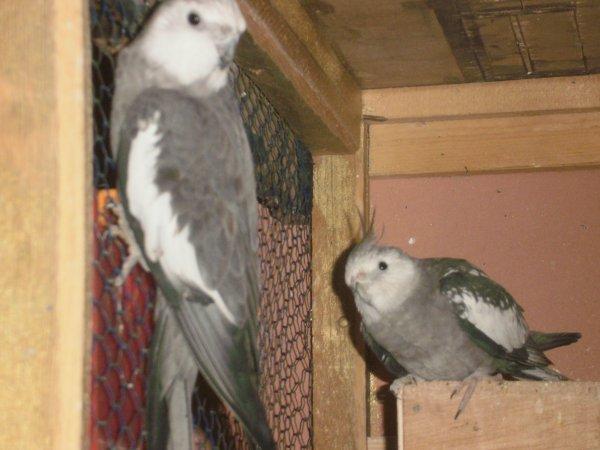 2 mâles calopsittes(à gauche type sauvage,à droite perlé).