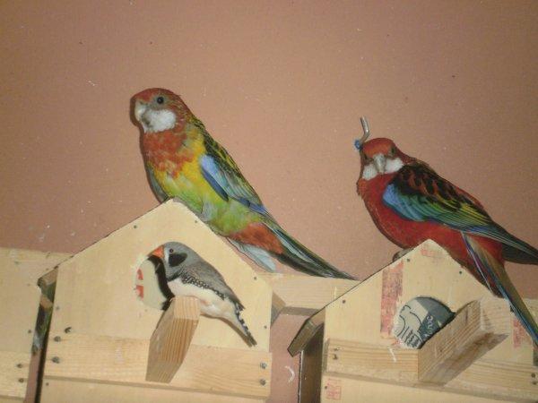 A gauche : femelle omniclolore dos doré, à droite: mâle omnicolore( mutation).
