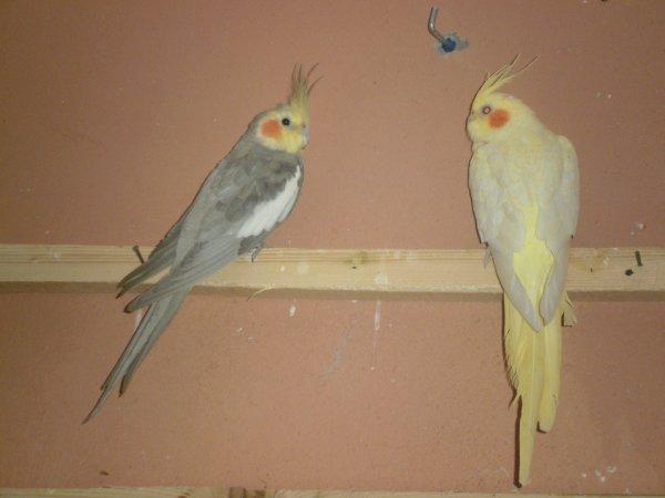 Un couple calopsitte : femelle lutino et male cinamo(élevage en volière aussi).