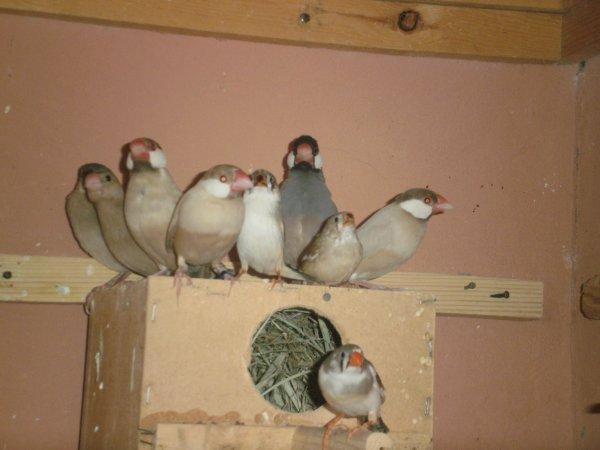 Ensemble de paddas et de mandarins , adultes et jeunes (élevage en volière).
