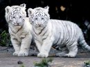 Photo de tigredusiberie54