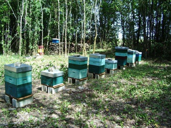 Mon rucher cette été