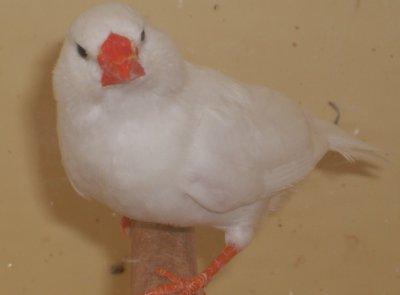 blanc femelle