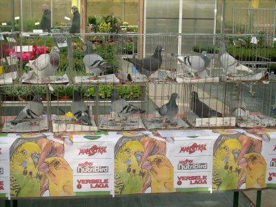 expo senlecques pigeons