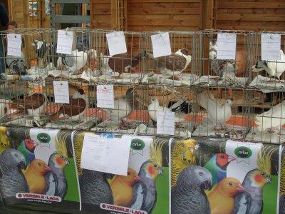expo pigeons