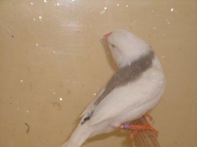 selle dos pale gris champion 2009 et 2010