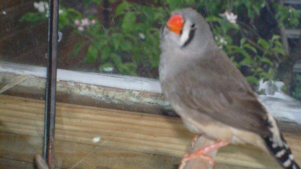 gris femelle