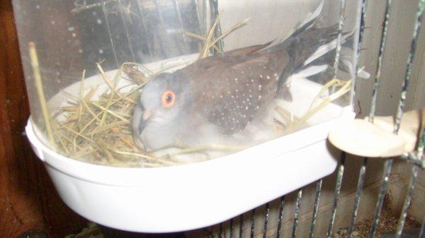 nid de colombe diamant
