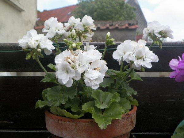 voici quelques belles couleurs de geraniums  pas encore de rosiers fleuris au 23/6