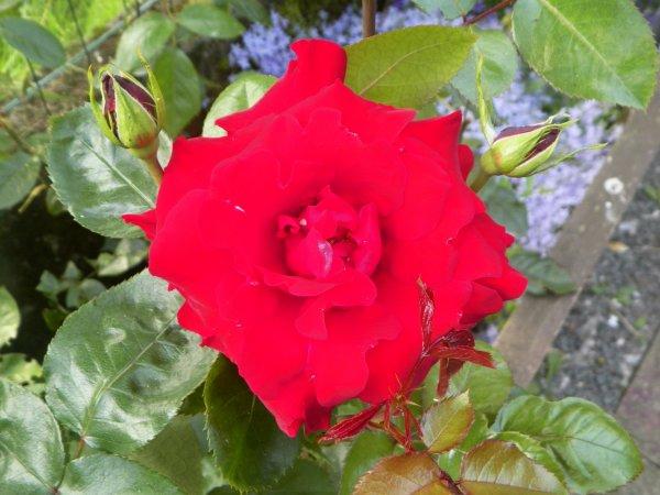 et quelques roses