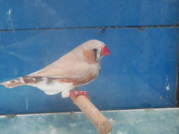 dos pale brun male et femelle