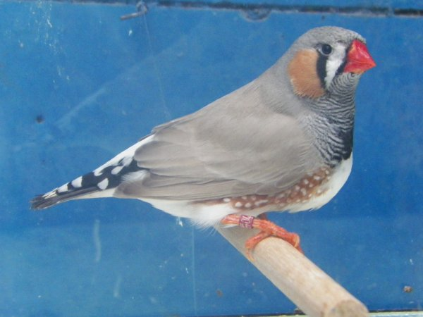 dos pale gris male et femelle