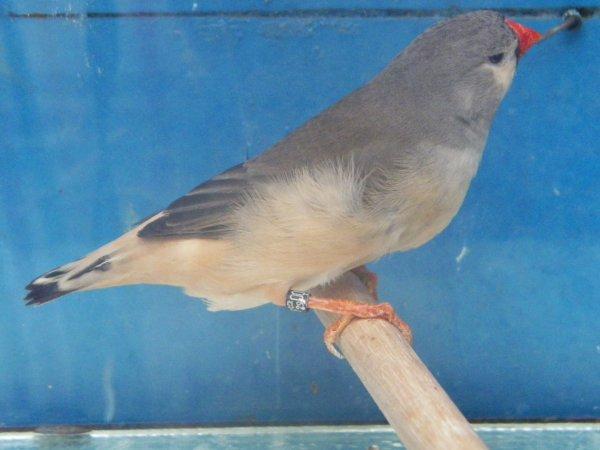 poitrine noire gris femelle