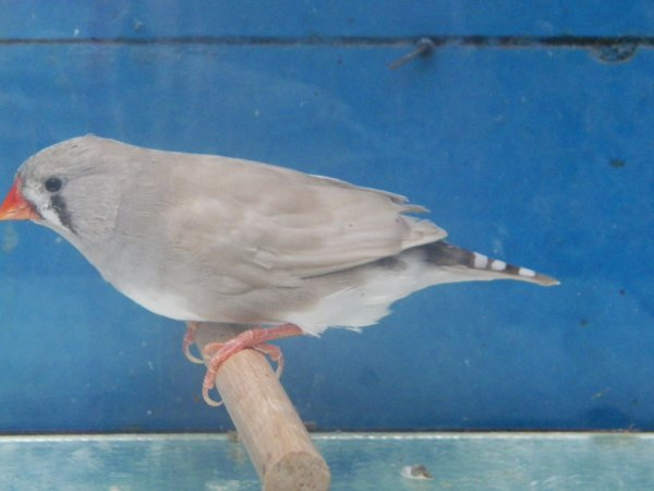 pastel gris femelle
