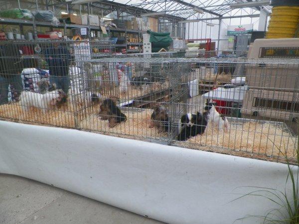 les stands chiens, volailles, oiseaux