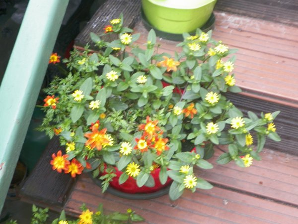quelques nouvelles fleurs remisent