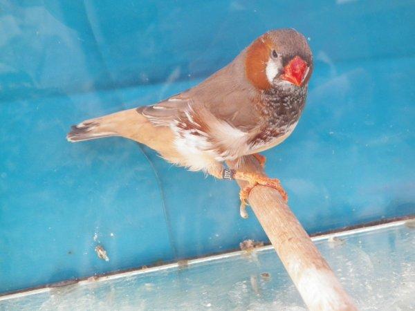 joue noire gris : poitrine noire orange brun