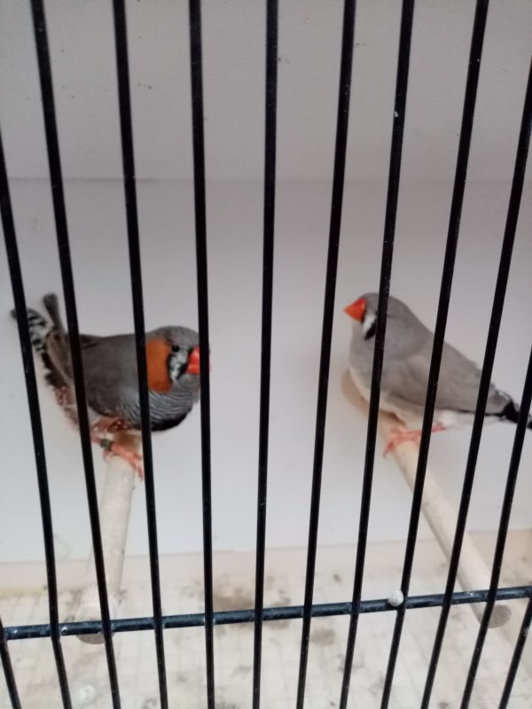couple n°17 avec jeunes gris/dos pale gris