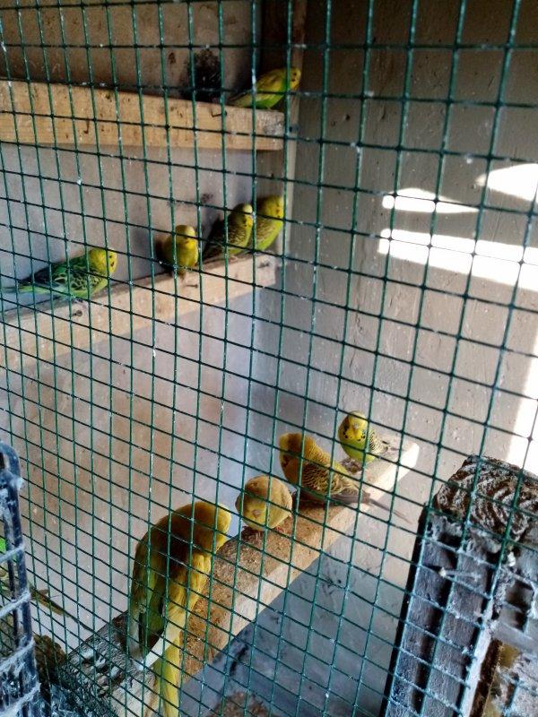perruches en volière