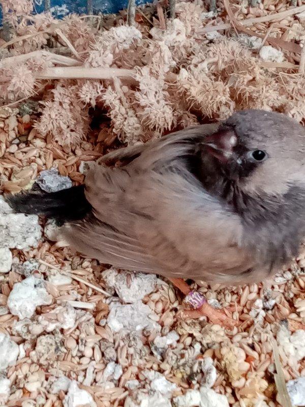 surprise dans une couvée  EUMO dos pale gris de 20jours