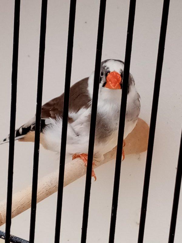 panache gris ( m et f )