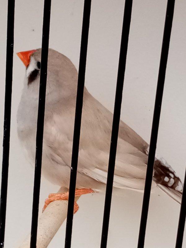 pastel dos pale gris ( f )