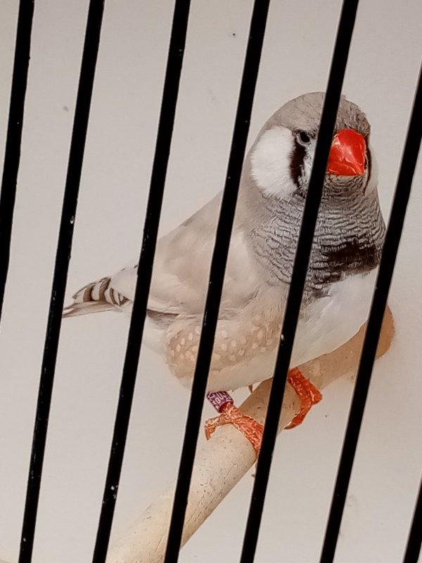 pastel dos pale gris ( m )