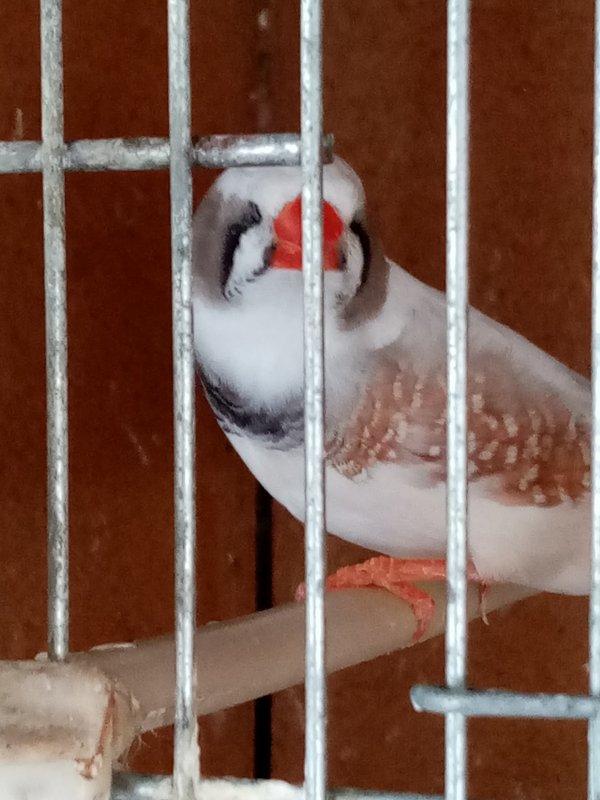 JOUE GRIS ( male )