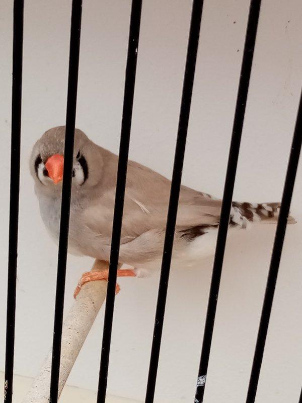 pastel gris