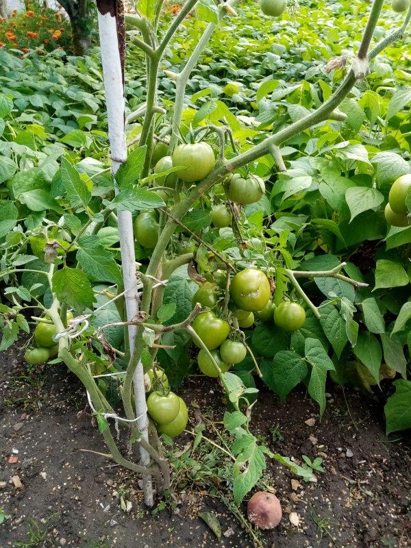 tomate au jardin 29/07/2021