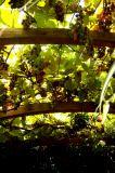 Photo de z-vert-mangue