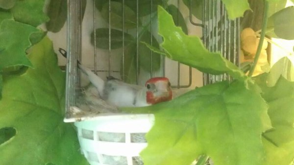la femel se remai au nid