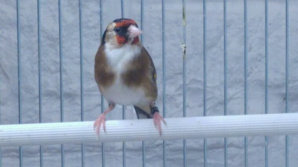 Femel feve ongle blanc plume blache