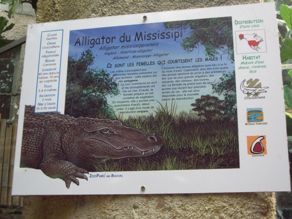 ALLIGATOR DU MISSISSIPI