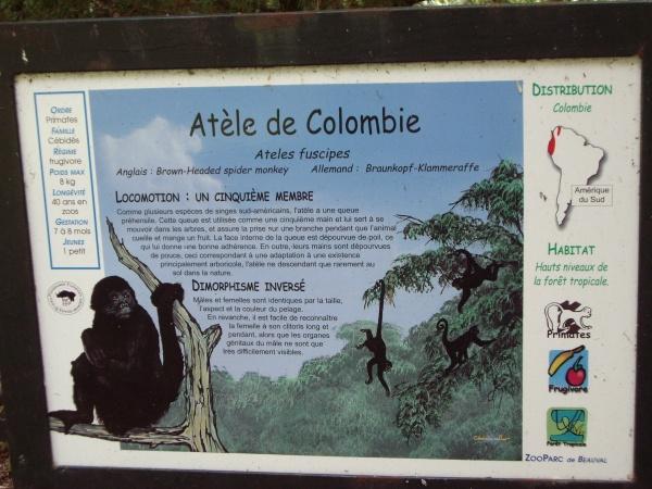 ATELE DE COLOMBIE