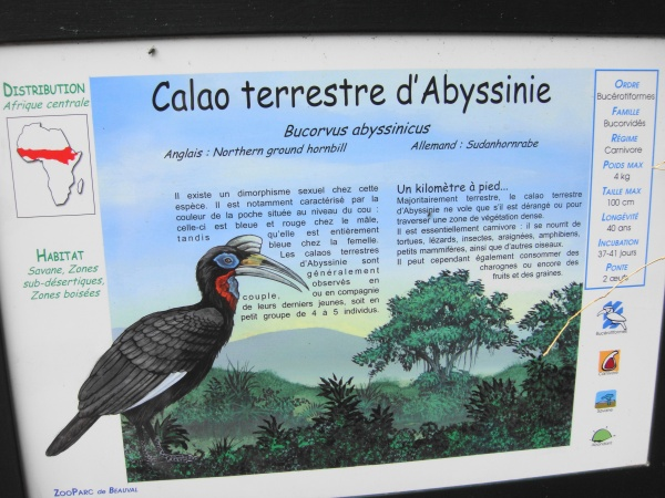 CALAO TERRESTRE D'ABYSSINIE