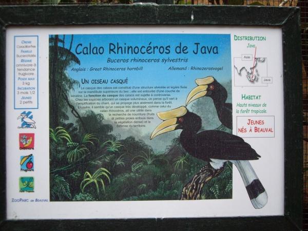 CALAO RHINOCEROS DE JAVA