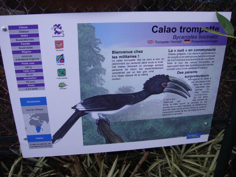CALAO TROMPETTE