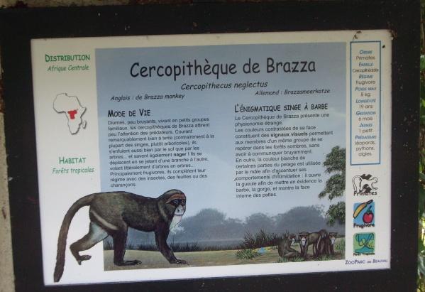 CERCOPITHEQUE DE BRAZZA
