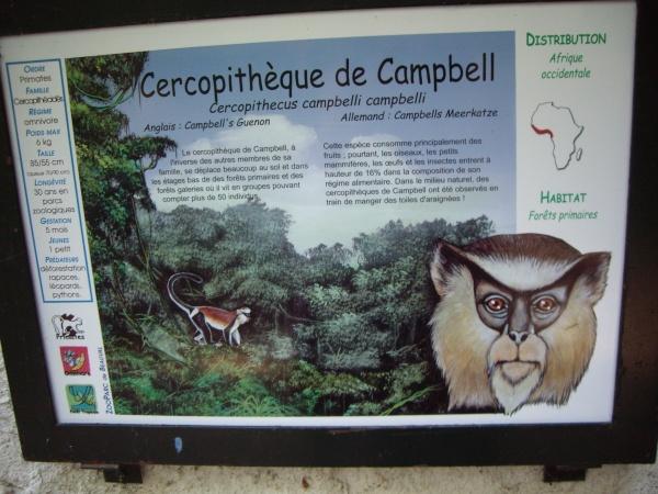 CERCOPITHEQUE DE CAMPBELL