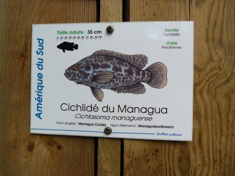 CICHLIDE DU MANAGUA