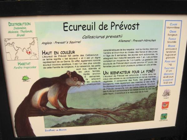 ECUREUIL DE PREVOST