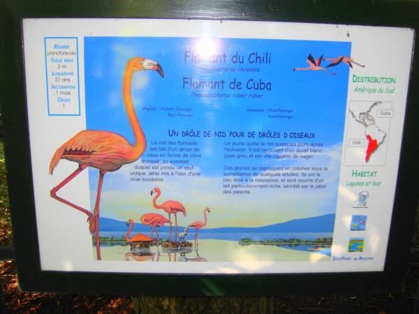 FLAMANT DU CHILI & CUBA